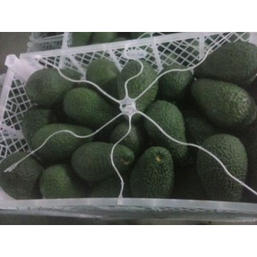 Avocat hass export