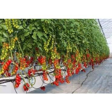 tomate cerise Maroc
