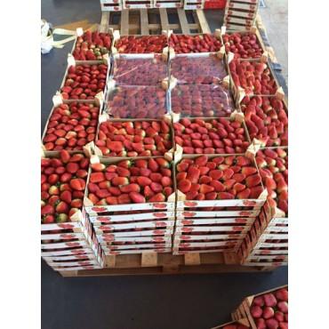 Maroc export fraise