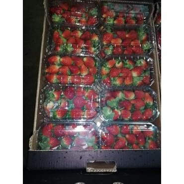 fournisseur fraise marocain