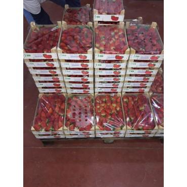 exportateur producteur fraise Maroc