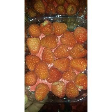 Maroc export framboise
