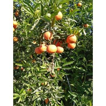 producteurs exportateurs clémentine Maroc