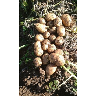 Maroc export pomme de terre