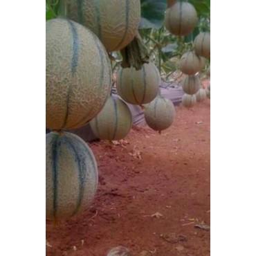 Melon Cantaloup Morocco