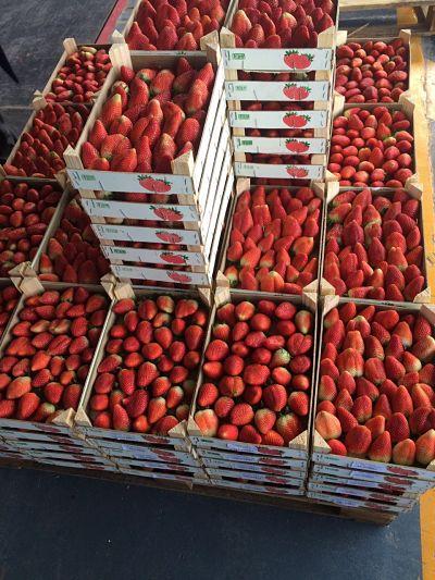 Exportateur fraise