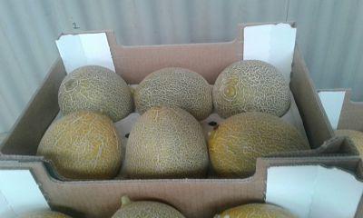 Maroc melon export