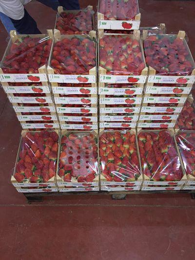 Fraise Maroc Mondial Export
